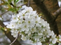 Ko češnja za cveti-FOTO slavko kohek